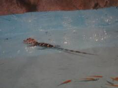 Alligator20100618-2.JPG