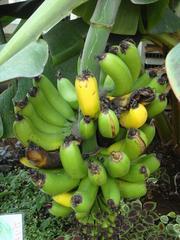 Banana20101002.JPG