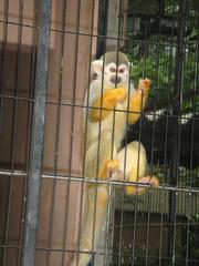 Black-headea Squirrel Monkey20100618-1.JPG