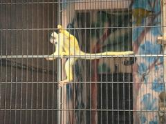 Black-headea Squirrel Monkey20100618-3.JPG