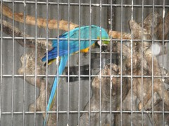 Blue and yellow Macaw20100618.JPG