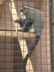 Brazza's Monkey20100618-1.JPG