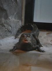 Crocodile20100618-2.JPG