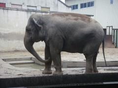 Elephant20100618-3.JPG