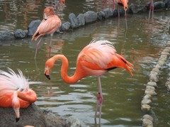 Flamingo20100618-3.JPG