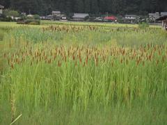 Gamanoho20100809-2.JPG