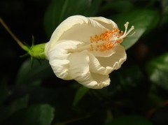 Hibiscus20101002-4.JPG