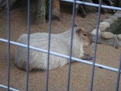 Kapybara20100618-1.JPG