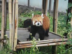 Lesser panda20100618-1.JPG