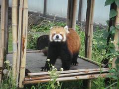 Lesser panda20100618-2.JPG