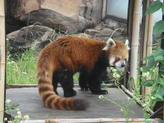 Lesser panda20100618-3.JPG