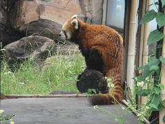 Lesser panda20100618-4.JPG