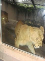 Lion20100618.JPG