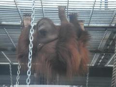 Orangutan20100618-1.JPG