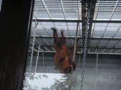 Orangutan20100618-2.JPG