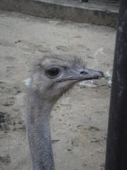 Ostrich20100618-2.JPG