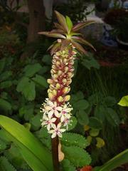 Pineapple Lily1.JPG