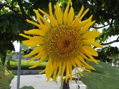 Sunflower20100821-1.JPG