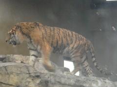 Tiger20100618.JPG