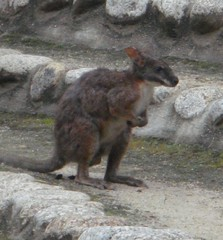 Wallaby20100618-1.JPG