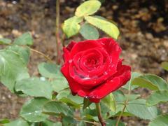 ashikaga-rose1.JPG