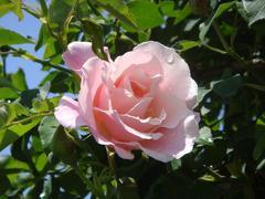 ashikaga-rose2.JPG