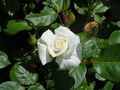 ashikaga-rose3.JPG