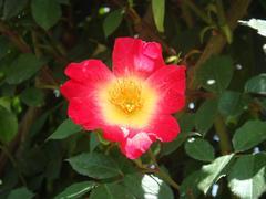 ashikaga-rose4.JPG