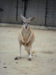 kangaroo20100618-1.JPG