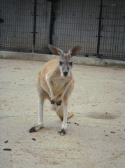 kangaroo20100618-2.JPG