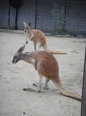 kangaroo20100618-4.JPG