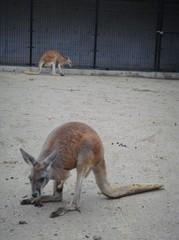 kangaroo20100618-5.JPG