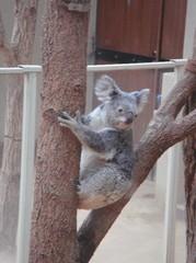 moving-koala20100618-1.JPG