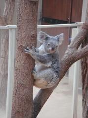 moving-koala20100618-2.JPG