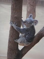 moving-koala20100618-3.JPG