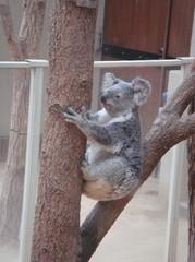 moving-koala20100618-4.JPG