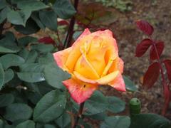 rose20100529-11.JPG