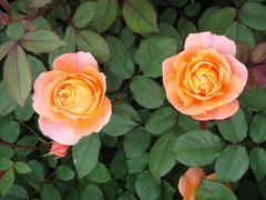 rose20100529-14.JPG