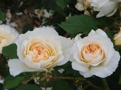 rose20100529-15.JPG
