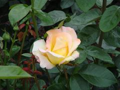 rose20100529-19.JPG