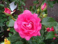 rose20100529-2.JPG