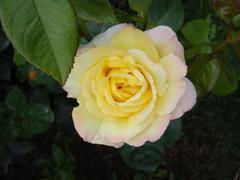 rose20100529-20.JPG
