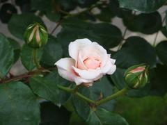rose20100529-23.JPG
