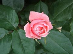rose20100529-24.JPG