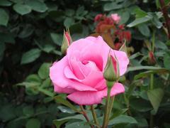 rose20100529-25.JPG