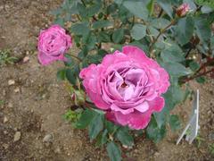 rose20100529-27.JPG
