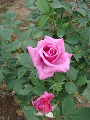 rose20100529-28.JPG