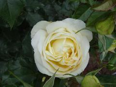 rose20100529-29-5.JPG