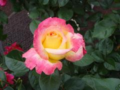 rose20100529-3.JPG