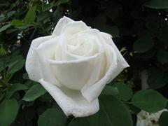 rose20100529-30.JPG